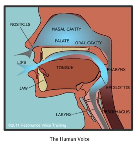 Nasal Airflow Diagram by How The Voice Works Resonance Voice