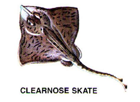 clear nose skate beaufort