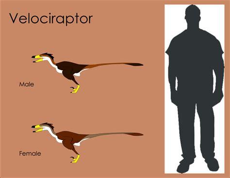 Velociraptor Size  wwwpixsharkcom  Images Galleries