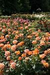 The Rose Garden - Greenwich Park - The Royal Parks rose garden