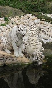 ENCYCLOPEDIA OF ANIMAL FACTS AND PICTURES: White tigers