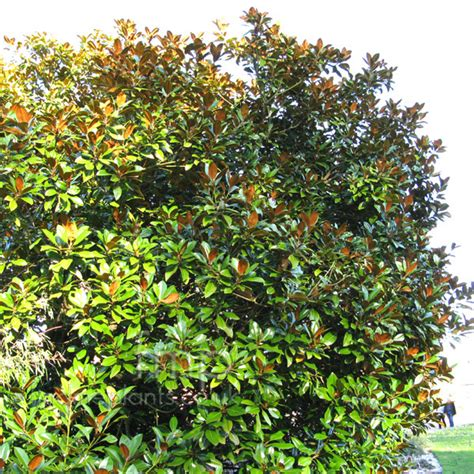 magnolia evergreen varieties top 28 evergreen magnolia tree varieties the gallery for gt evergreen magnolia tree types
