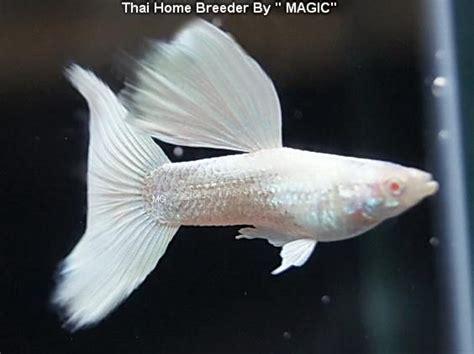 white guppy guppy fish guppy aquarium fish