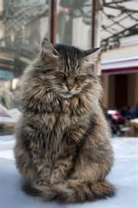pictures of maine coon cats 10 reasons why you should never own maine coon cats