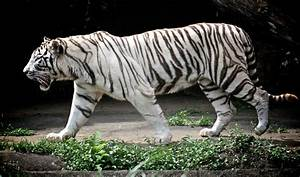 Tigre blanco - Imagui