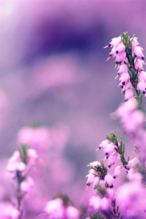 lavender flowers hd wallpaper hd latest wallpapers