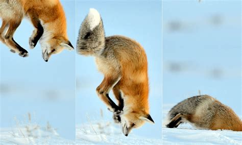 fox dives  snow  hunting  mice daily mail