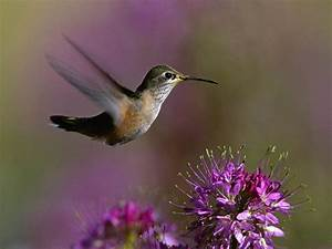 Hummingbird Wallpapers HD Car Wallpapers