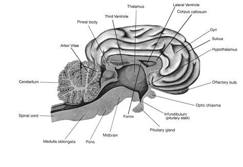 Label Brain Diagram by Sheep Brain Dissection Lab Companion