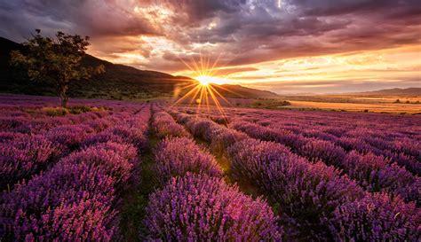lavender field sunrise wallpaper  desktop