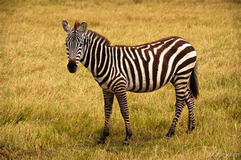 common zebra photograph landscape travel photography