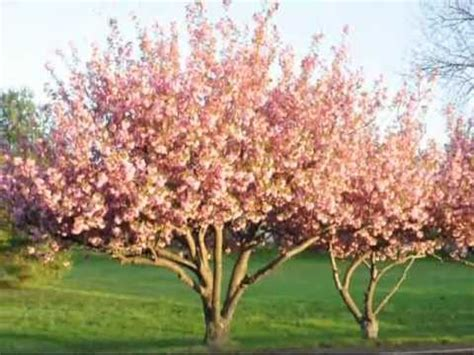 cherry tree not flowering beautiful flowering kwanzan cherry trees youtube