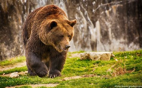 Interesting Facts About Brown Bears  Just Fun Facts
