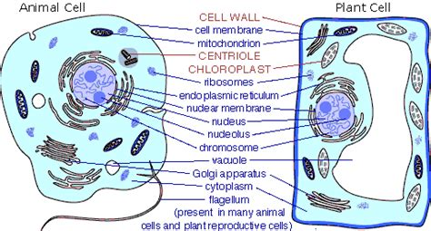 differences  animal cells  plant cells