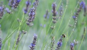 Lavande Anti Moustique : anti moustiques anti gu pes quels sont les insecticides colos c t maison ~ Nature-et-papiers.com Idées de Décoration