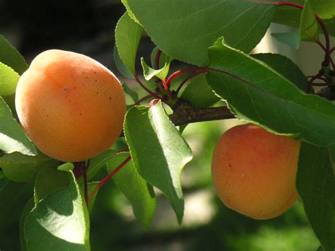 Free Apricot tree 2 Stock Photo - FreeImages.com