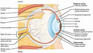Feline Eye Anatomy Diagram