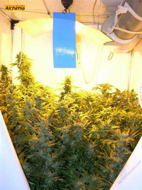 guide de culture cannabis interieur growing marijuana in grow tents alchimia