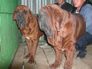 Korean Mastiff Dog Puppies for Sale