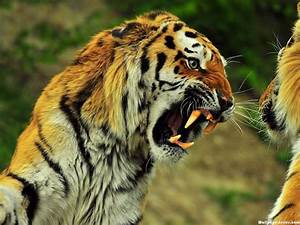 HD Angry Tiger Face Wallpaper   Download Free - 140724