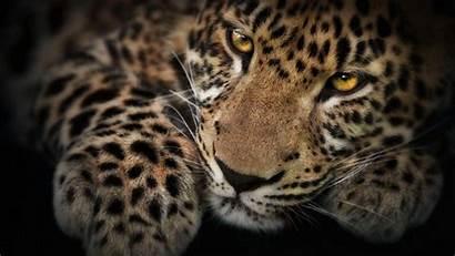 Wild Cat Wallpapers