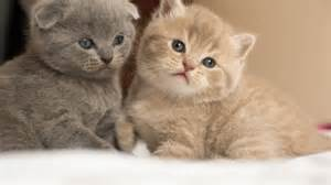 scottish fold cats for scottish fold kittens for in essex clacton on sea