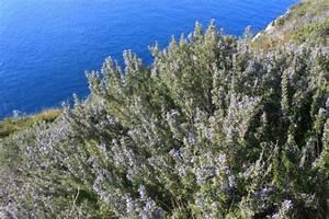 La coltivazione del rosmarino: un'aromatica dalle tante virtù Le Piante Aromatiche it