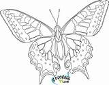 Butterfly Coloring Pages Printable Hard Colors Teamcolors sketch template