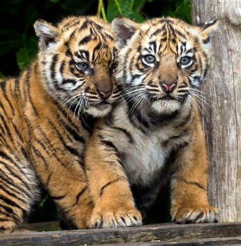Best Images About Tigres Leones Pinterest Fire