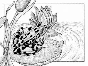 Pen and Ink Drawing of a Leopard Frog on Lily Pad by ...