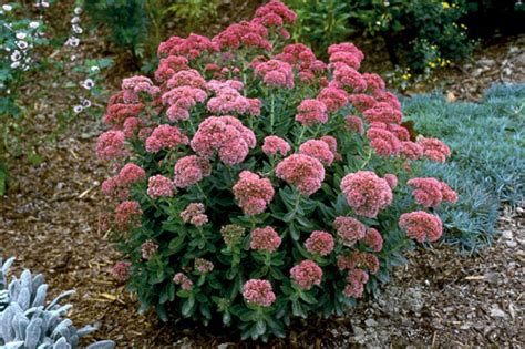 autumn garden plants autumn joy sedum