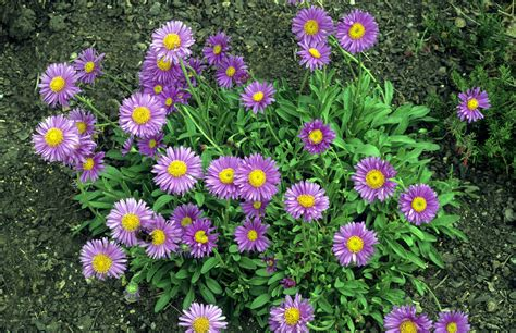 or perennial grow perennial aster flower plants for fall blooms