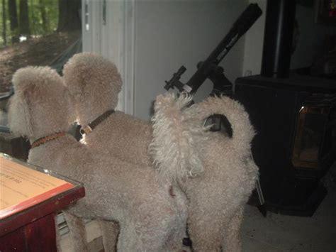 gay tails poodle forum standard poodle toy poodle miniature poodle forum  poodle owners