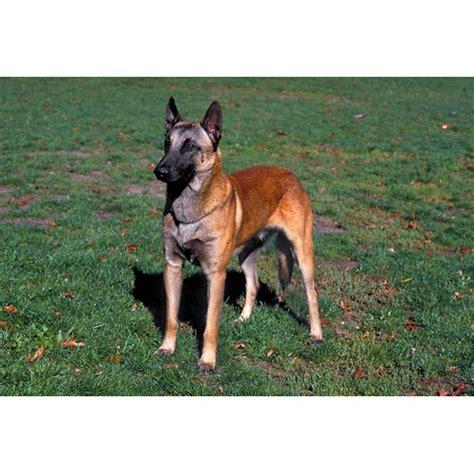 100 belgian malinois dog shedding 2048 best belgian