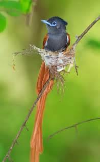 African Paradise Flycatcher Birds