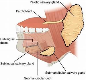 The Mouth  Pharynx  And Esophagus  U00b7 Anatomy And Physiology