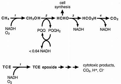 Methane Oxidation Bacteria Oxidizing Tce Pathways Mmo