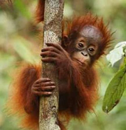 orangutan kalimantan hewan primata dilindungi animals box