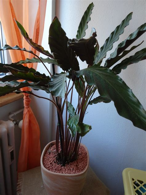 Calathea Blätter Hängen by Calathea Braune Bl 228 Tter Pflanzenkrankheiten