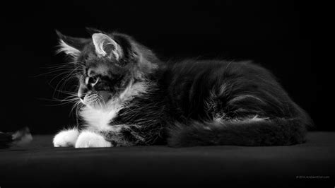 1920 By 1200 Wallpapers Noir Et Blanc Fonds D 39 écran à Bureau Chats Chatons Photos