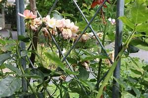 Wann Kletterrosen Schneiden : verbl hte rosen schneiden darf man die rosenbl ten ~ Watch28wear.com Haus und Dekorationen