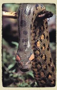The Beauty Of Anaconda Snake