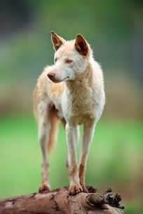 Albino Australian Dingo