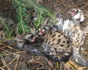 Cougar Mountain Lion Scat