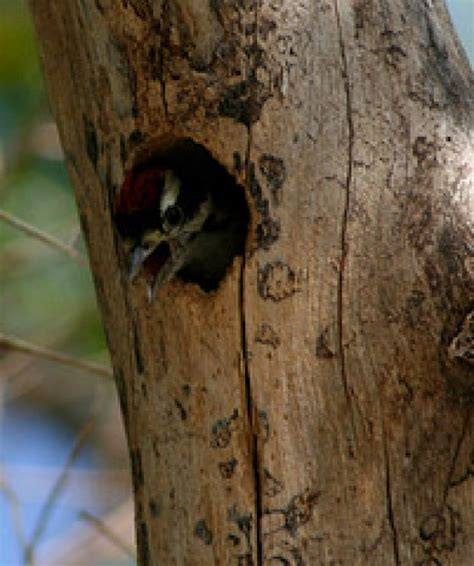 how to stop woodpeckers from damaging your house dengarden