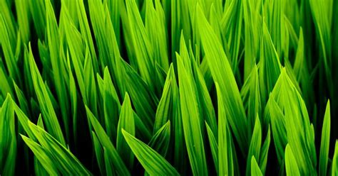 Side Effects Of Wheatgrass Juice