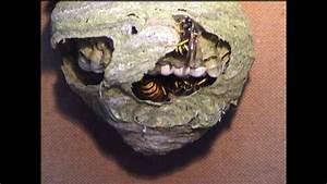Kleines Wespennest Selber Entfernen : wespennest vespula vulgaris youtube ~ Lizthompson.info Haus und Dekorationen