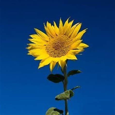 jual kebun bibit biji bunga matahari  lapak kebunbibit