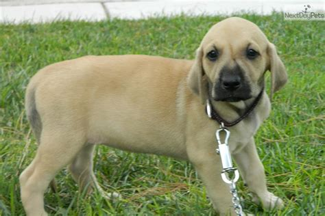 Black Cur Shedding by Blackmouth Cur Puppies Puppy Pictures