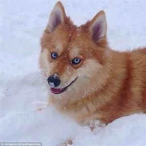 Mya the Pomsky is a Pomeranian-cross-Husky who looks like ...
